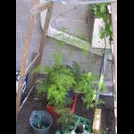 Plumosa Fern on 6/21 on the green roof