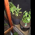 Sage starts to bloom (taken at night)