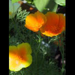 Main planting of california poppies bloom