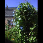 Morning glories taking over