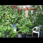Green roof pergolas filling in on 8/5