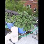Eggplants on 8/5