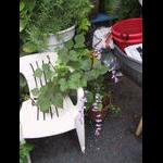 Hibiscus bean vine grows on a chair