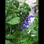 Sage blooms on 8/5