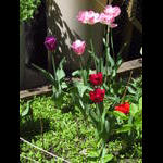 Parkway tulips on 5/7