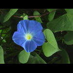 Heavenly Blue Monring Glory