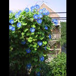 More Heavenly Blue Morning Glories