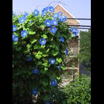 Heavenly Blue Morning Glories on Trellace