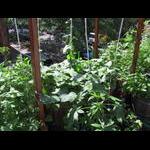 Veranda level cucumbers on 6/22