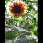Sunflower blooms on 8/8