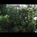 Veranda level becoming overgrown on 8/11