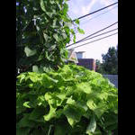 Potato vine thrives