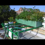 Main rooftop NE corner planter on 8/11
