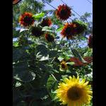 Veranda level sunflowers on 8/16
