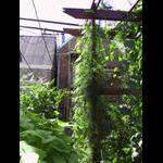 Cardinal climbers vine have their own pole to climb
