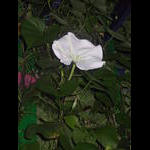 Moonflower blooms at night on 8/28