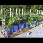 Tomato patch in a production lull on 9/2