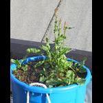 Perennial herb -- need ID