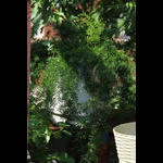 Asperagus fern