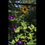 MGs and shaded sunflower on veranda level