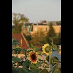SE corner main roof sunflowers bloom