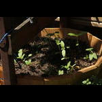 Pot of sunflowers sprouting