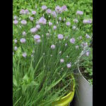 Chives bloom