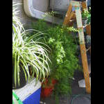 Asparagus fern in afternoon sun
