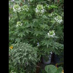 Cleome flowers multiply
