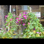 Alley overhang trellis filled with Morning Glories on 9/15